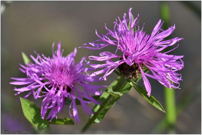 Wiesen-Flockenblume: Centaurea jacea